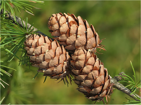 Gymnosperm (seed producing plants)